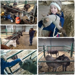 Visite de l'asinerie de la Waruche où ânes, agneaux, lapins et chevaux ont ravi  petits et grands.
